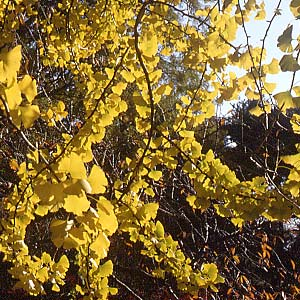 oct_gingko_300.jpg