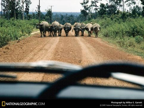 laos-water-buffalo-145880-sw1.jpg