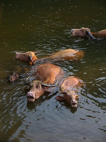 laos-water-buffalo-photo-by-solene-and-kevin.jpg