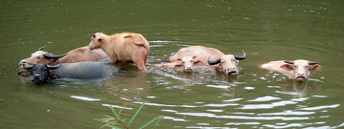 laos-water-buffalo-photo-by-vondelskater.jpg