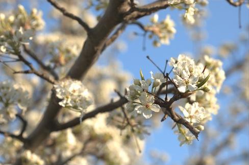bradford-pear-tree.jpg