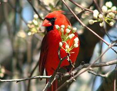 cardinal-inna-pear-tree-photo-by-sugarbear-steve-at-flickr.jpg
