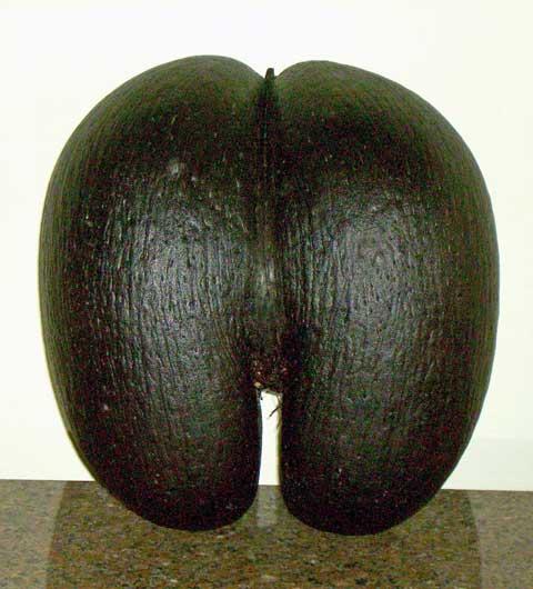 female-cocodemer-seed