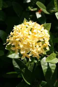 Lao flower