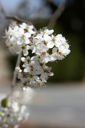 Bradford Pear Tree flower