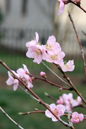 Peach Tree flower