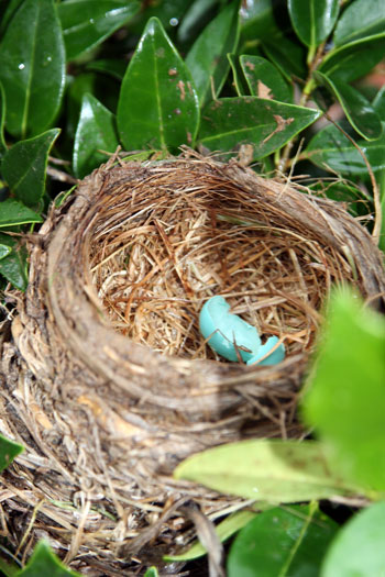 cracked Robin's egg
