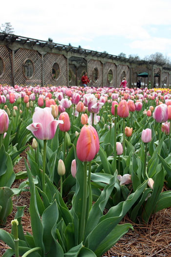 Tulips at Biltmore