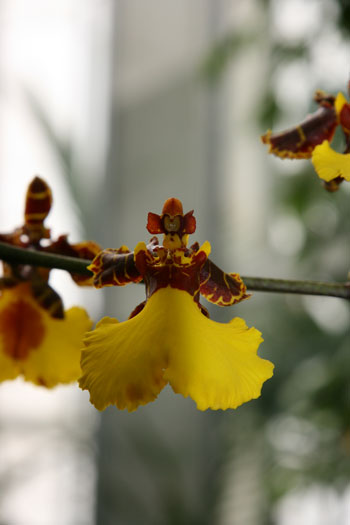 The Dancing Lady Orchid Plant
