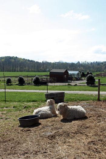 sheeps at River Bend Farm