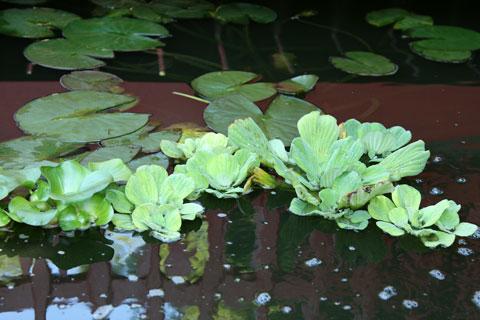 free-floating perennial aquatic plants