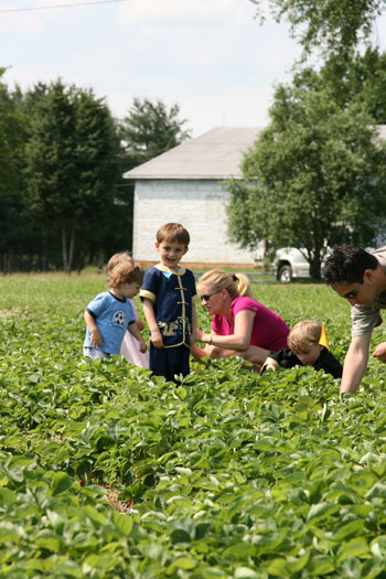 A family picking strawberries