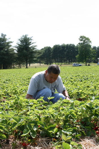 My dad picking strawberries