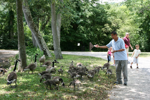 My dad feeding the geese with white rice