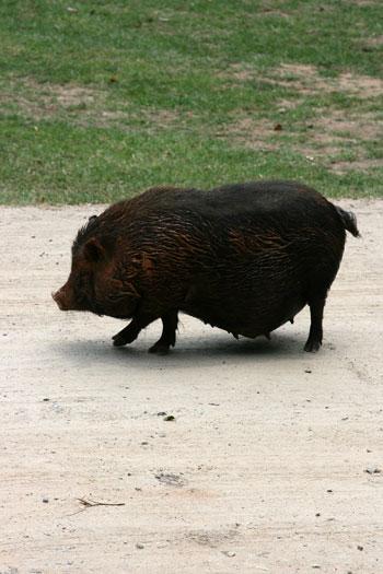 A Vietnamese Potbelly pig